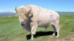 Photo of a white buffalo
