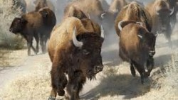 Photo of a buffalo stampede