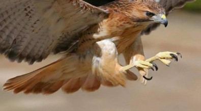 Picture of a hawk in flight.