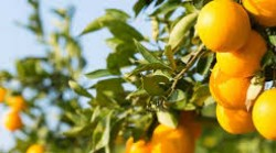 Picture of oranges hanging on tree