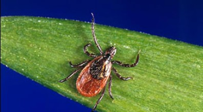 Tick-Borne Illnesses and Lyme Disease