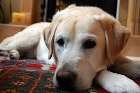 Image result for free image of a golden english lab